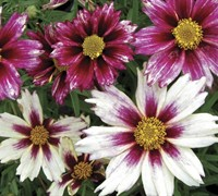 Shop  Lil Bang Starlight Coreopsis - 1 Gallon