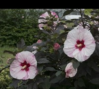 Hibiscus Perfect Storm