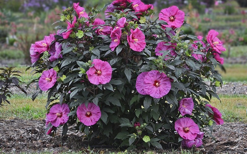 Hibiscus Berry Awesome - 1 Gallon - Perennial Plants | ToGoGarden