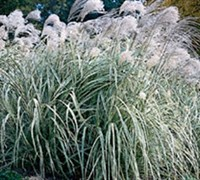 Shop Japanese Silver Grass - 3 Gallon