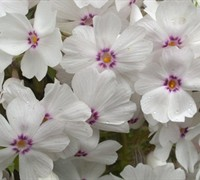 Amazing Grace Creeping Phlox