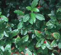Shop Marlberry  Japanese Ardisia - 18 count flat of 3.5