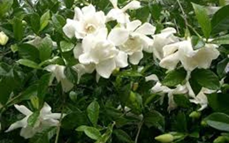 August Beauty Gardenia Photo 2