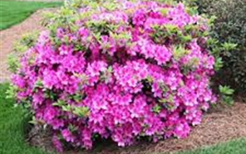 Autumn Amethyst Encore Azalea Photo 4