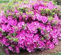 Shop Autumn Amethyst Encore Azalea - 1 Gallon