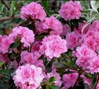 Shop Autumn Carnation Encore Azalea - 1 Gallon