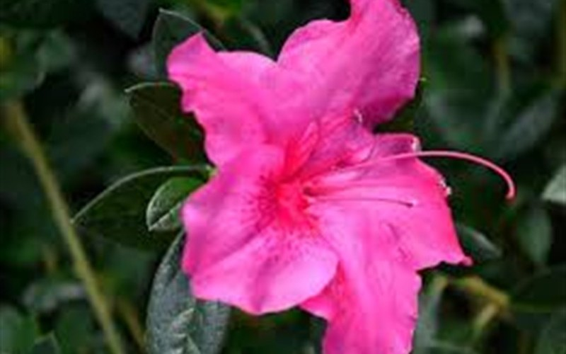 Autumn Carnival Encore Azalea Photo 4