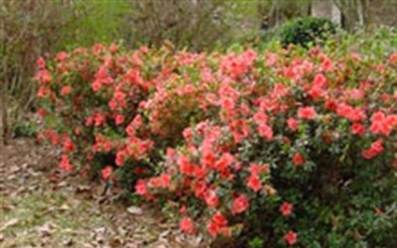 Autumn Coral Encore Azalea Photo 4