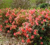 Shop Autumn Coral Encore Azalea - 1 Gallon