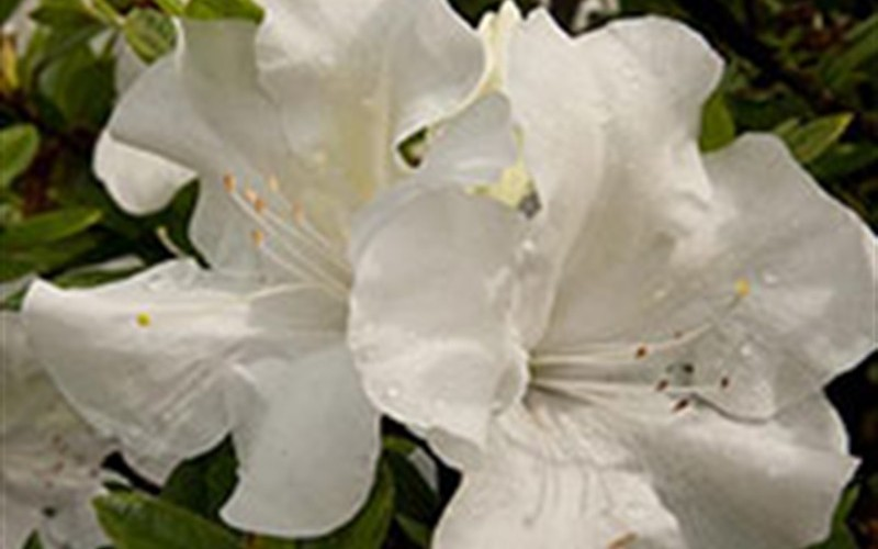Autumn Ivory Encore Azalea Photo 2