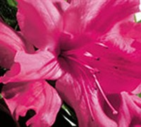 Shop Autumn Sundance Encore Azalea - 1 Gallon