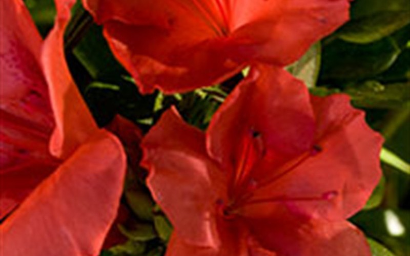 Autumn Sunset Encore Azalea Photo 3