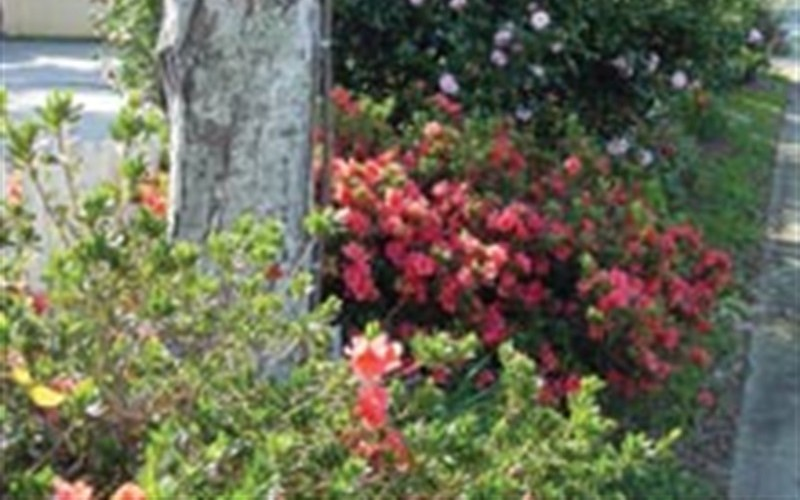 Autumn Sunset Encore Azalea Photo 2