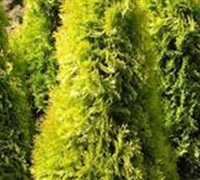 Shop Berkmans Golden Arborvitae - 7 Gallon