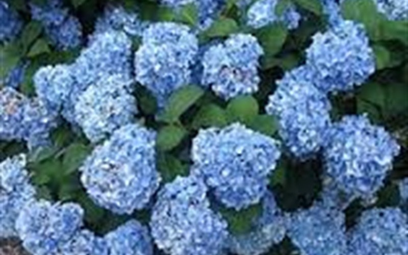 Big Daddy Hydrangea Photo 3