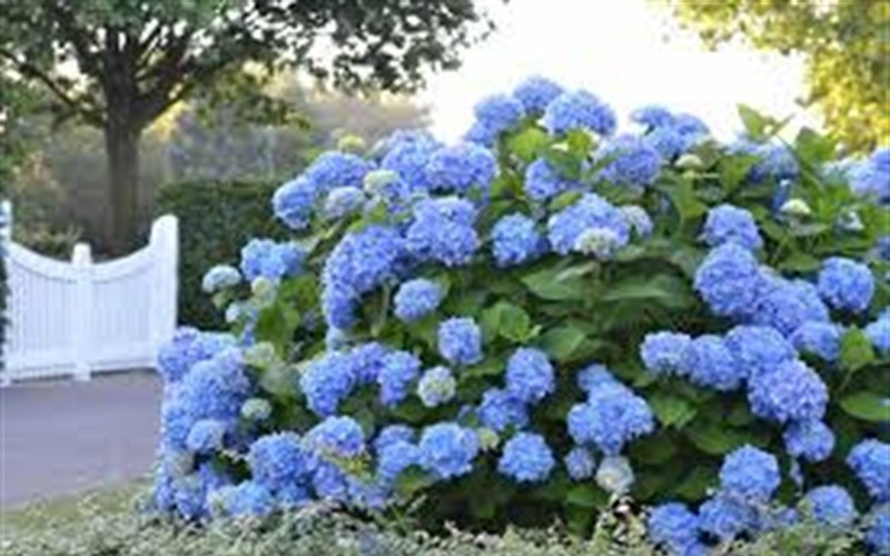 Big Daddy Hydrangea Photo 2