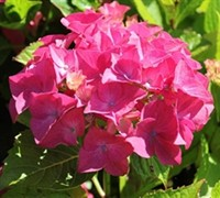 Shop Charm Red Hydrangea - 1 Gallon