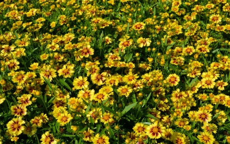 Lil Bang Enchanted Eve Coreopsis - 1 Gallon - Perennial Plants | ToGoGarden