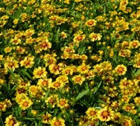 Lil Bang Enchanted Eve Coreopsis