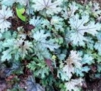 Shop Cracked Ice Heucherella - 2.5 Quart