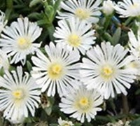 Shop Delosperma White Wonder Ice Plant - 8 Count Flat of Quart Pots