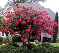 Shop Delta Flame Crape Myrtle - 2 Gallon