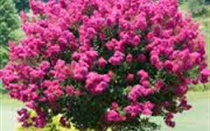 Delta Jazz Crape Myrtle Photo 3