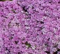 Drummond's Pink Creeping Phlox