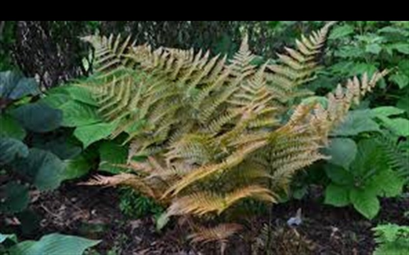 Autumn Fern Photo 4