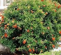 Dwarf Pomegranate - Punica granatum - 'Nana'