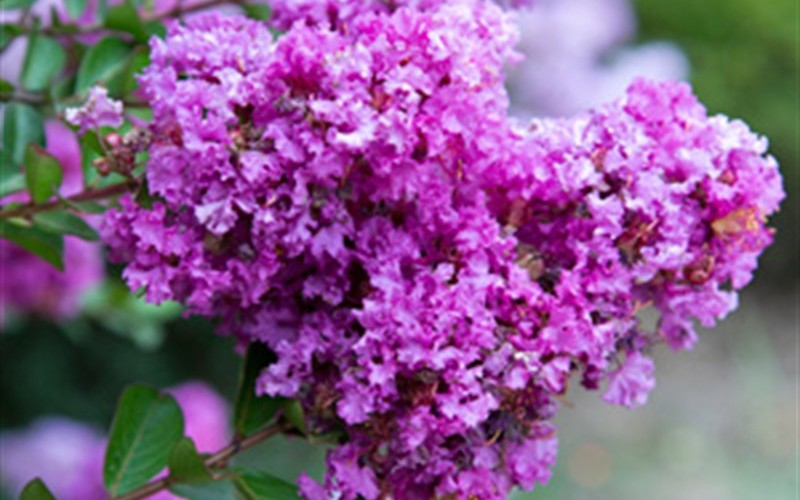 Early Bird Purple Crape Myrtle Photo 3