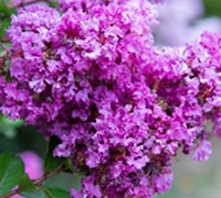 Shop Early Bird Purple Crape Myrtle - 2 Gallon
