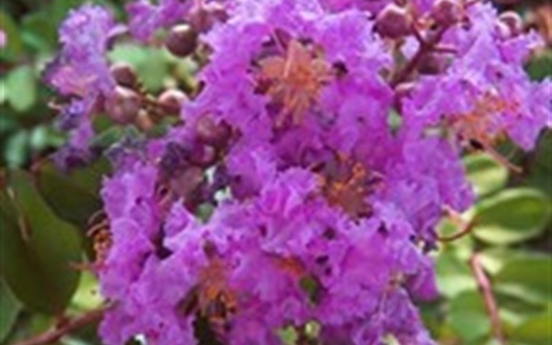 Early Bird Purple Crape Myrtle Photo 2