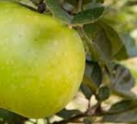 Shop Ein Shemer Apple - 5 Gallon