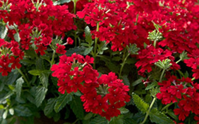 Endurascape Red Verbena Photo 2