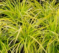 Everillo Carex