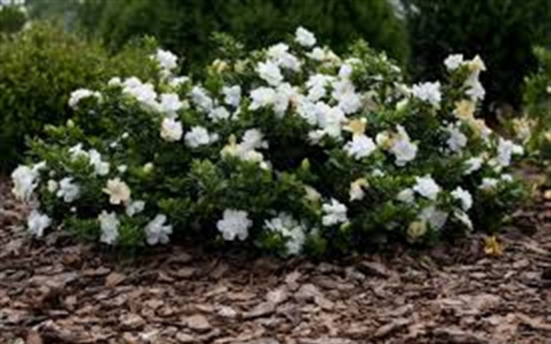 Frost Proof Gardenia Photo 5