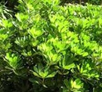 Shop Green Pittosporum - 2.5 Quart