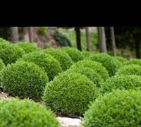 Green Velvet Dwarf Boxwood