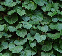Shop Algerian Ivy - 18 Count Flat of 4