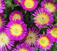 Shop Delosperma Hot Pink Wonder Ice Plant - 10 Count Flat of Quart Pots