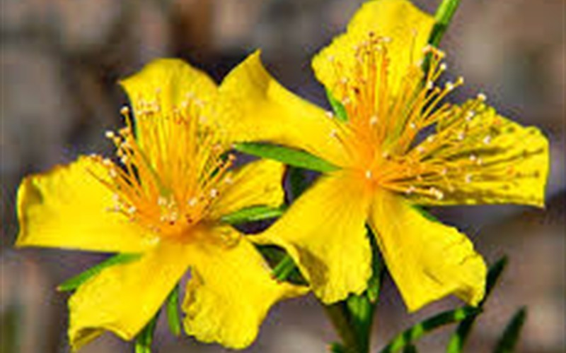 Creeping St John's Wort Photo 2