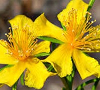 Shop Creeping St John's Wort - 1 Gallon