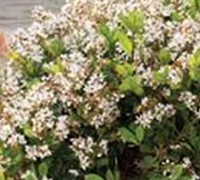 Shop Indian Hawthorn Spring Sonata - 2 Gallon