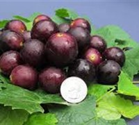 Shop Jumbo Muscadine - 1 Gallon