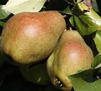 Shop Kieffer Pear  - 5 Gallon