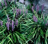 Shop Majestic Liriope - 18 Count Flat of 3.5