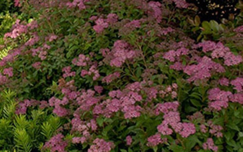 Little Bonnie Dwarf Spiraea Photo 2