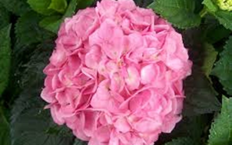 Merritts Supreme Hydrangea Photo 3