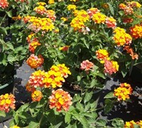 Shop Miss Huff Hardy Lantana - 1 Gallon